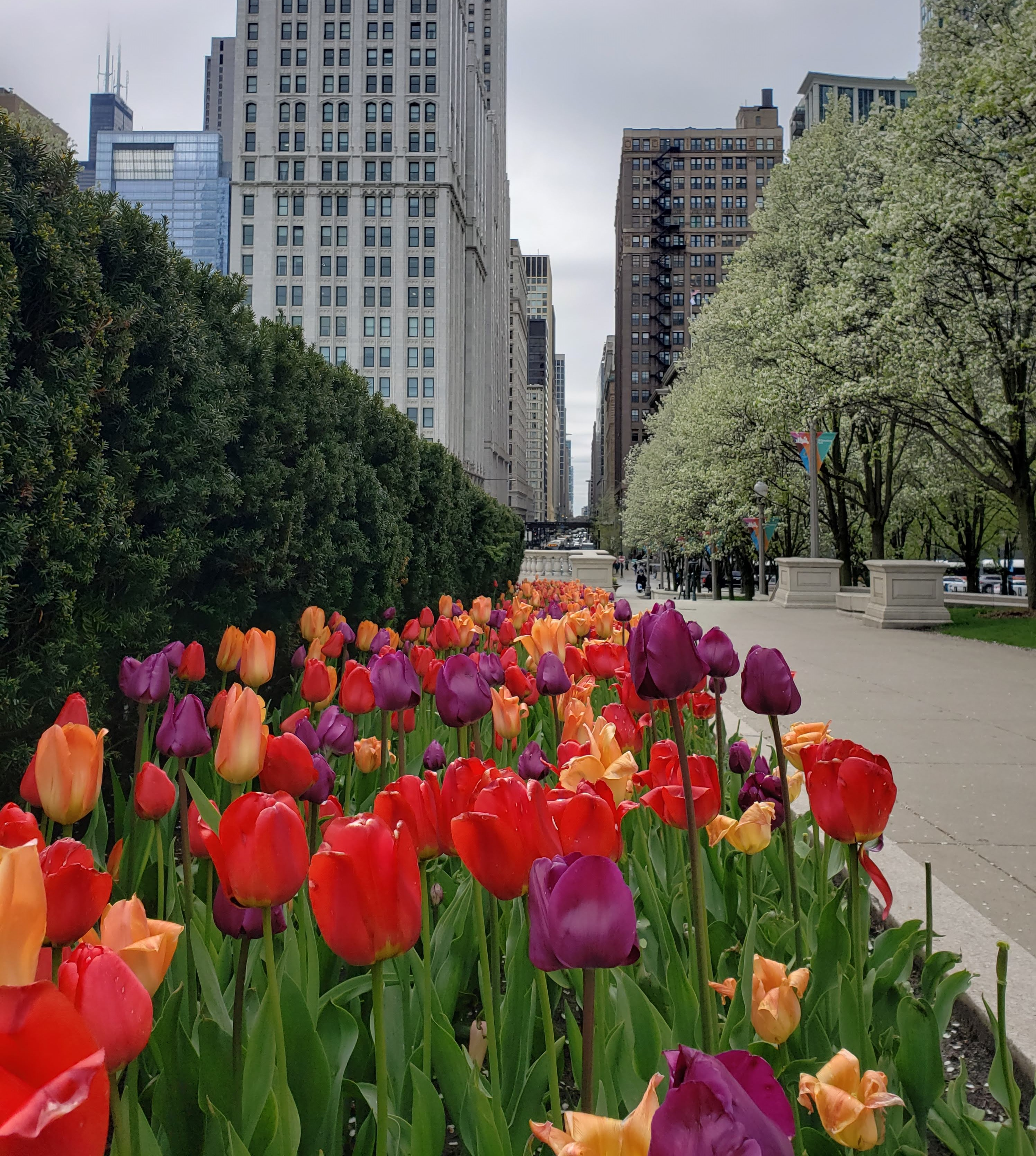 Tulips near Millennium Park during a cloudy Spring afternoon